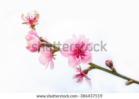 Beautiful pink cherry blossom (Sakura) flower at full bloom - stock photo