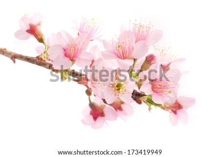 Beautiful Pink Cherry blossom, sakura flowers isolated on white background. - stock photo