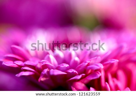 Beautiful pink chrysanthemum flower closeup - stock photo