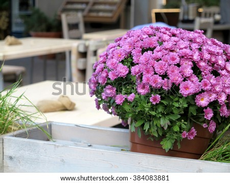 Beautiful pink chrysanthemum in a wooden flowerpot on blurred background summer cafe. Soft Focus