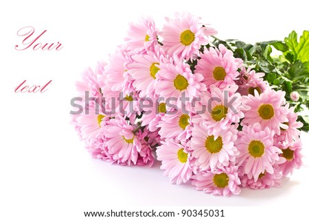 Beautiful pink chrysanthemums on white background - stock photo