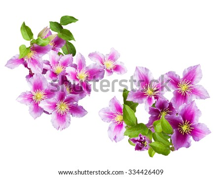 Beautiful pink clematis close-up isolated on white background. - stock photo