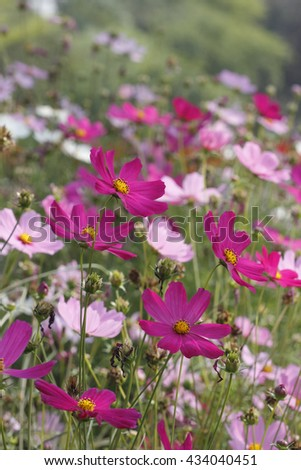 Beautiful Pink Cosmos Flower Field in The Garden,Soft Focus - stock photo