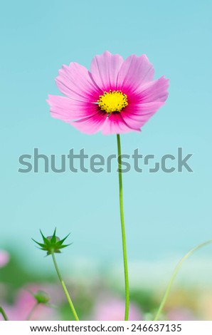Beautiful Pink Cosmos flowers on sky background blooming before valentine day - stock photo