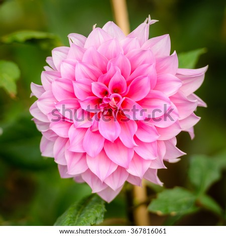 Beautiful pink dahlia flower blooming in the garden with shallow depth of field. - stock photo