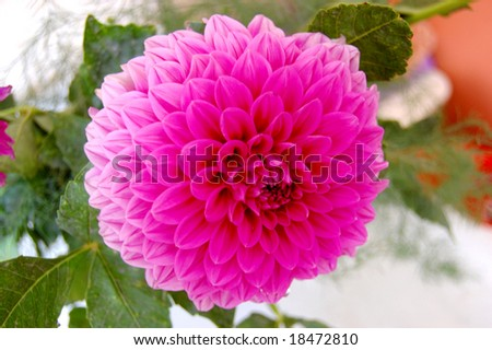 Beautiful pink Dahlia in vase on table - stock photo