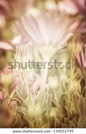 Beautiful pink daisy flowers, fresh floral background, wildflowers glade, spring season, soft focus - stock photo