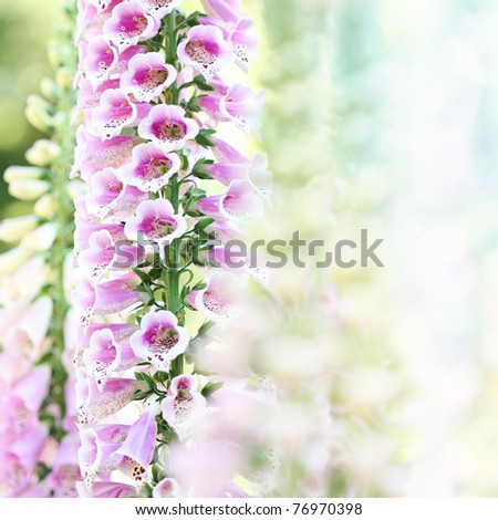 Beautiful pink digitalis or foxglove flowers in spring summer garden on blurry bokeh background - stock photo