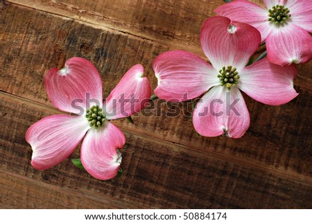Beautiful pink dogwood blossoms on rustic wood background.  Macro with shallow dof. - stock photo