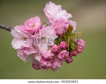 Beautiful pink double cherry blossom