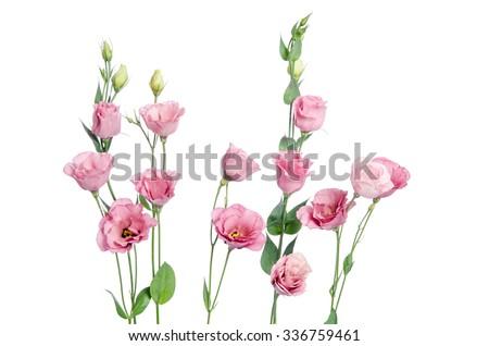Beautiful pink eustoma flowers isolated on white background  - stock photo