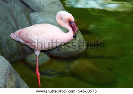 beautiful pink flamingo standing on one leg. - stock photo