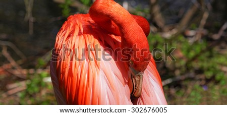 Beautiful pink flamingoes in a flock. - stock photo