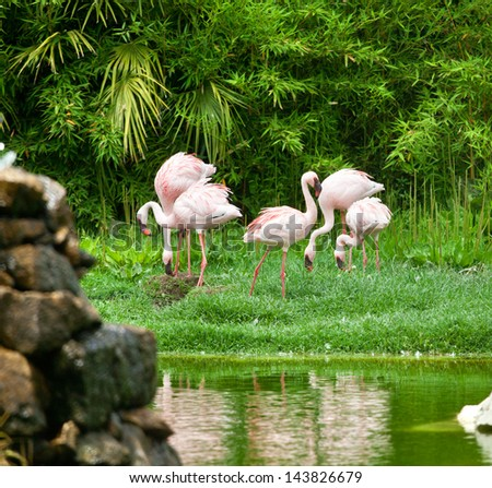 Beautiful pink flamingos in the nature - stock photo