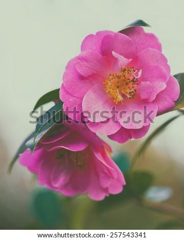 Beautiful pink flower of japanese camellia - stock photo