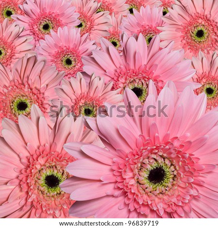 Beautiful pink flower petals, gerbera close-up. - stock photo