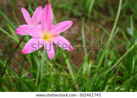 beautiful pink flowers - stock photo