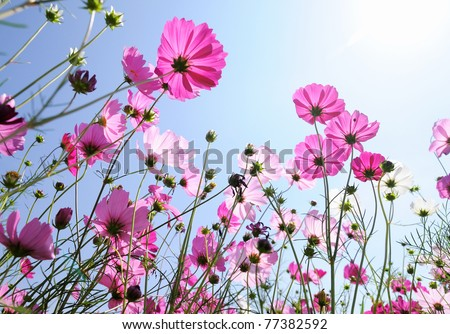 Beautiful pink flowers and Blue sky - stock photo