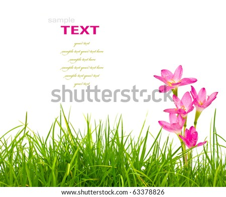 Beautiful pink flowers and fresh spring green grass isolated on white background. - stock photo