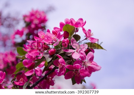Beautiful pink flowers (branch with the first cherry-tree flowers) - stock photo