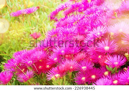 beautiful pink flowers in the garden - stock photo