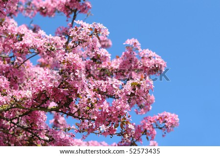Beautiful pink flowers of cherry on blue sky background - stock photo
