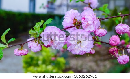 Beautiful pink flowers spring season started stock photo royalty beautiful pink flowers of spring season started clean air different colors in the garden mightylinksfo Gallery