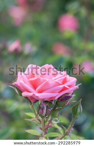 Beautiful pink garden rose  - stock photo