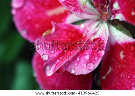 beautiful pink geranium flowers with water droplets on petals - stock photo