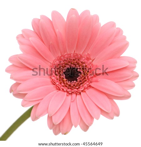 Beautiful pink gerber with stem isolated on white background - stock photo
