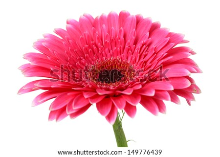 Beautiful pink gerbera flower isolated on white - stock photo