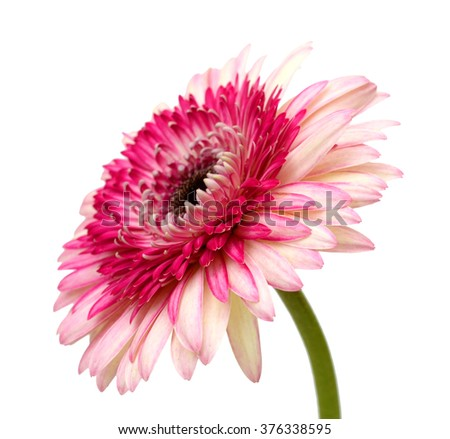 beautiful pink gerbera flower isolated on white background - stock photo