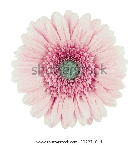 beautiful pink gerbera flower, isolated on white, top view - stock photo
