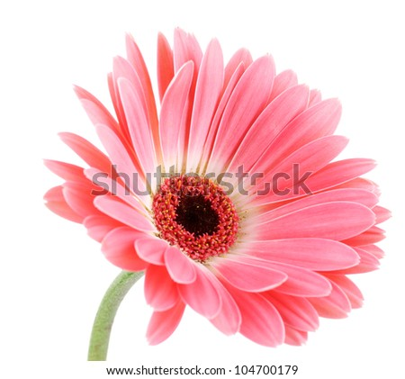 beautiful pink gerbera isolated on white - stock photo