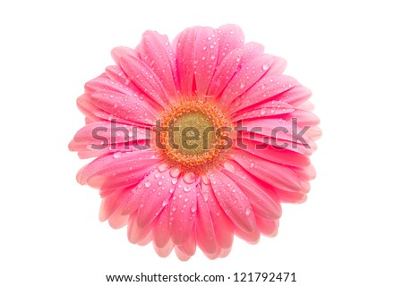 beautiful pink gerbera with drops isolated on white - stock photo