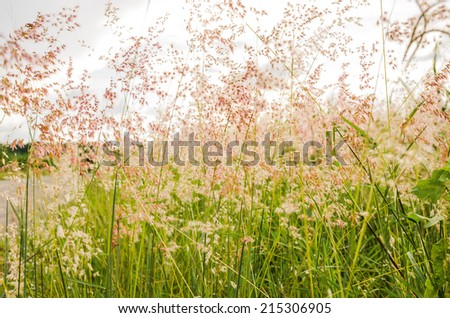 Beautiful Pink grass field   - stock photo