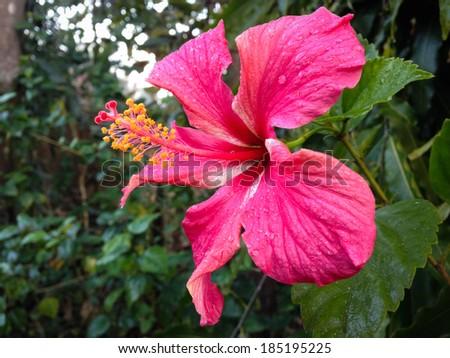 Beautiful pink Hibiscus flower in garden in lowland west Nepal - stock photo