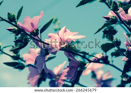 Beautiful pink Hollyhock flowers blooming in the garden  - stock photo