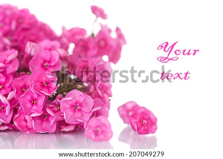 beautiful pink hydrangea blossoms on white background