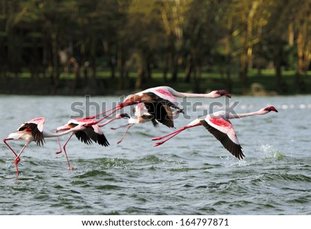Beautiful pink Lesser Flamingos flying above Lake Naivasha, Kenya - stock photo