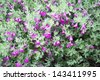 beautiful pink Leucophyllum frutescens flowers and bees in the garden - stock photo