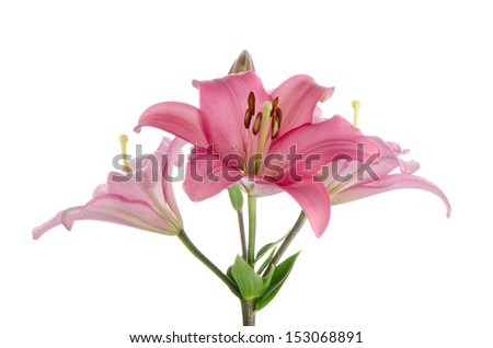 Beautiful pink lilies isolated on white background.