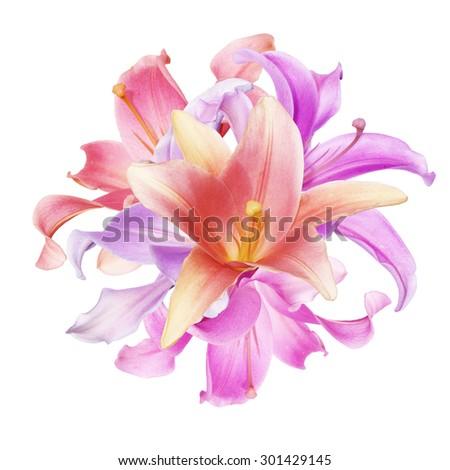 Beautiful  pink Lily - stock photo
