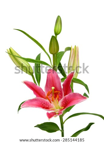 beautiful pink lily flower isolated on white background