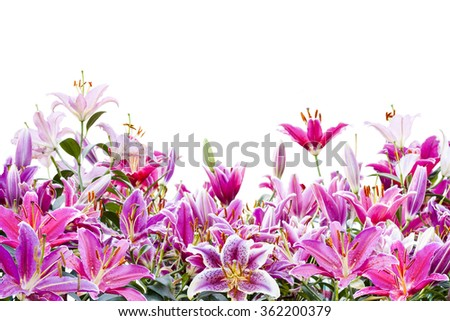 beautiful pink lily flower isolated on white background ( Clipping Path )