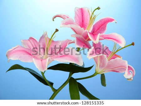 beautiful pink lily, on blue background - stock photo
