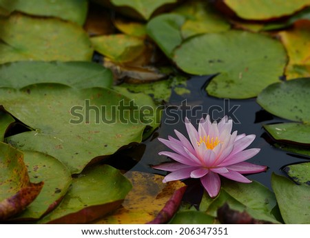 Beautiful Pink lily water plant with reflection in a pond