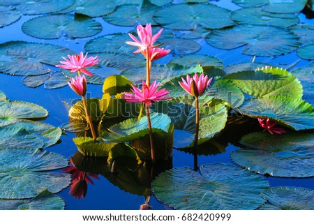Beautiful pink lotus