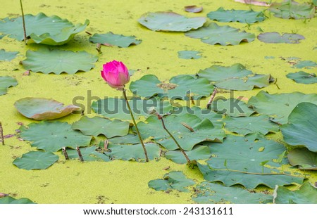 Beautiful pink lotus blooming in the pond - stock photo
