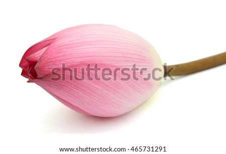 Beautiful pink lotus bud isolated on the white background